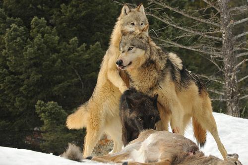 wolveseating